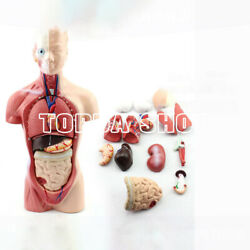 Primary And Secondary Education 26cm Human Torso Model Structural Anatomy Organ