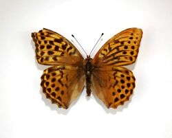 Gynandromorph Argynnis Paphia Butterfly Silver Washed Fritillary Insect