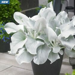 18 Senecio 'angel Wings'- Live Perennial Plant - Zones 8 -11 -good In Containers