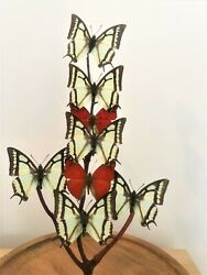 Butterfly. Butterflies. Taxidermy. Glass Dome. Cloche. Antique Glass Dome