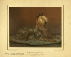 Nortshire Terrier Hundin Rose Yorkshire Terrier  1885