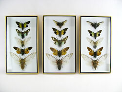 1 Box With 5xl Cicada Speciosa - Real - Taxidermy - Beetle 3d - Nice Bred Insect