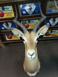 Gorgeous African Impala Taxidermy Shoulder Clean Mount New Holland Pa