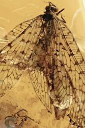 Extremely Rare Lacewing Osmylidae Fossil Genuine Baltic Amber + Hq Pic 201110