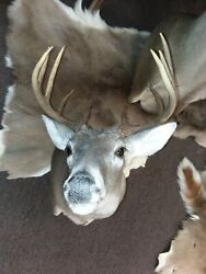 Gorgeous Whitetail Deer Shoulder Mount Taxidermy New Holland Pa