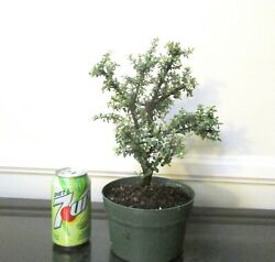Beautiful Cotoneaster For Blooming Mame Shohin Bonsai Tiny Leaves Multiple List