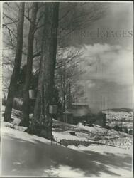 1952 Press Photo View Of Buckets Hanging On A Sugar Maple Tree In Vermont