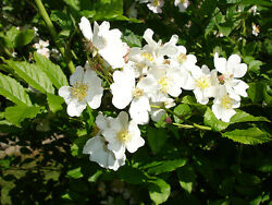 White Rugosa Rose Rosa Rugosa Albiflora Shrub Seeds Fast Hardy Fragrant