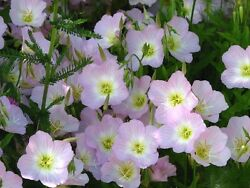 1000 SHOWY PINK EVENING PRIMROSE Oenothera Seeds CombSH $3.00