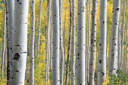 100 WHITE JAPANESE BIRCH TREE SEEDS Gift amp; Comb S H