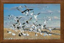 Canadian Gold - Geese Framed Ovation Canvas By Michael Sieve