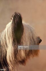 Photos by Getty Images Skye Terrier Jacinthe de Ricelaine at 88th Westminster
