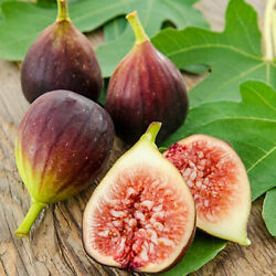 Fig Ficus Carica Tree Brown Turkey Fig Live Plant 3-inch Deep Pot Outdoor Plant