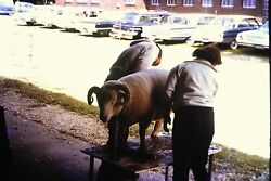 #21 35mm slide Vintage Collectibles Photo cleaning animal cars parking