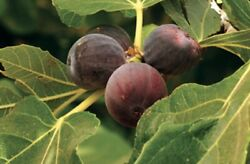 Brown Turkey Fig Tree - Air Layered, 1-2 Ft Tall, In 5 Gallon Pot