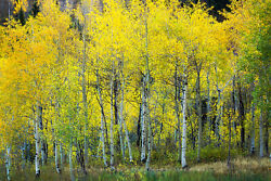 Rocky Mountain Photography Print - Picture Of Autumn Aspen Trees In Colorado