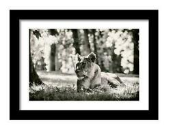 Print / Canvas A Lioness In The Sun Wall Art Lion Photography Nature Photo Wild