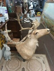 Nice Caribou In Velvet Taxidermy Shoulder Clean Mount New Holland Pa