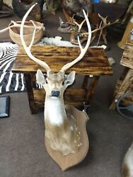 Gorgeous Vintage Axis Deer Shoulder Mount Taxidermy New Holland Pa