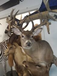 Gorgeous Non Typical Whitetail Deer Shoulder Mount Taxidermy New Holland Pa