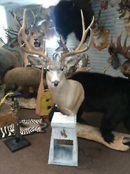 Gorgeous Mule Deer Pedestal Mount Taxidermy New Holland Pa