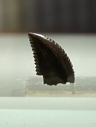 Troodon Formosus Raptor Tooth Fossil - North Central Montana - Usa
