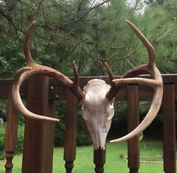 Super 8 Point Typical Whitetail Deer European Skull Mount Shed Antlers Cabin