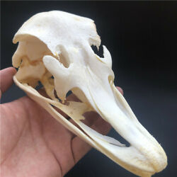 1 pcs Real Ostrich Skull collectable Animal Taxidermy educational specimens