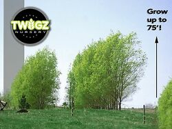 Austree Hybrid Willow 100 Starts Easy Growing Shade Privacy Salix Fence Cuttings