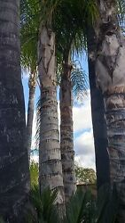 Queen Palm Cluster - 1 of a kind 30 year old Palms