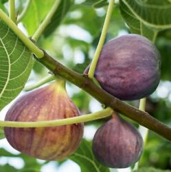 9 Stem Cuttings Of Brown Turkey Fig Ficus Carica Tree To Propagate Cold Hardy