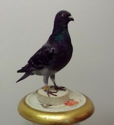 Domestic Pigeon Taxidermy Art Home Decoration