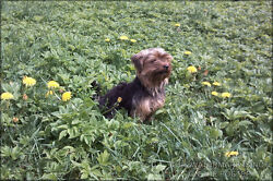 Poster Many Sizes; Yorkshire Terrier P2