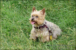 Poster Many Sizes; Yorkshire Terrier P3