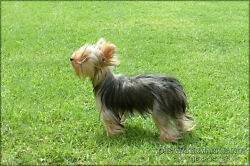 Poster Many Sizes; Yorkshire Terrier