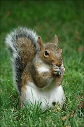 Poster Many Sizes Gray Squirrel Sciurus Carolinensis With Maple Tree Seed
