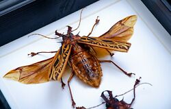 Gothic Huge Macrodontia Cervicorn Insects In Box Frame Taxidermy Insect Art