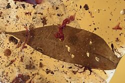 Giant 56mm Leaf 3 Crickets Managerie Fossil Colombian Amber Copal Hq Pic 210525