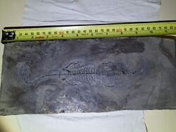 Keichousaurus Hui Fossil 9.5 Inch 240 Mm, Complete And100 Genuine.