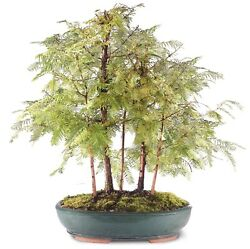 """Dawn Redwood Grove Outdoor Bonsai Tree Live Plant 10 Years Old 19""""-23"""""""