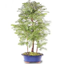 """Dawn Redwood Grove Outdoor Bonsai Tree Live Plant 5 Years Old 19""""-23"""""""