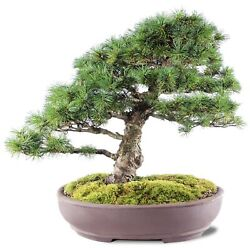 """Japanese Five Needle Pine Outdoor Bonsai Tree Live Plant 50 Years Old 15"""""""