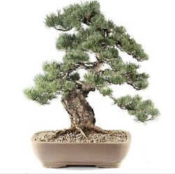 """Japanese Five Needle Pine Outdoor Bonsai Tree Live Plant 40 Years Old 20"""""""