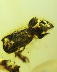 Superb Scarabaeoidae Beetle Burmite Natural Myanmar Insect Amber Fossil