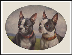 BOSTON TERRIER HEAD STUDY TWO DOGS LOVELY VINTAGE STYLE DOG PRINT POSTER