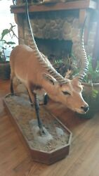 19090 E+ | Red Lechwe Taxidermy Life-size Mount