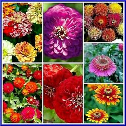 Zinnia Large Mix 30 Seeds MANY COLORS 3 4 FT TALL Comb.S H SEE OUR STORE