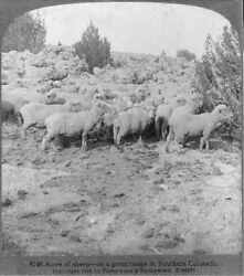 Photo Of Stereograph,acres Of Sheep,great Range,southern Colorado,co,ranch,c1906
