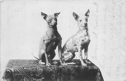 H48/ Elwood Indiana Rppc Postcard 1907 Pet Dogs Fancy Table Cloth