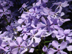 32 Perennial Creeping Phlox Lavender Live Plants Ground Cover - Fast Shipping